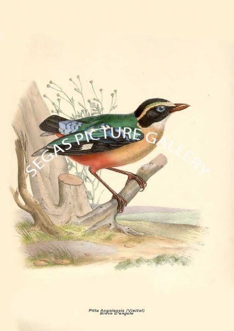 Fine art print of the Pitta Angolensis (Vieillot) --- Brève D'angole by Paul Louis Oudart (1849)